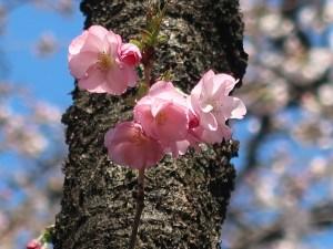 Cerasus lannesiana 'Matsumae-hayazaki'/ Cherry var. Matsumae hayazaki/マツマエハヤザキ 松前早咲