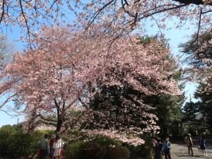 Cerasus x yedoensis America/ Cherry var. America/ アメリカ アメリカ桜