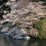 Cerasus × yedoensis/ Cherry var. someiyoshino/ ソメイヨシノ