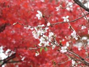 "Cerasus x parvifolia ""Fuyuzakura""/ Cherry var. Fuyuzakura/ フユザクラ 冬桜"