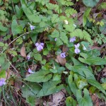 Viola bissetii/ Viola bissetii/ ナガハノスミレサイシン