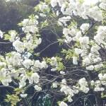 Cerasus serrulata 'Amayadori'/ Cherry var. Amayadori/ アマヤドリ