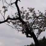 Cerasus serrulata 'Kariginu'/ Cherry var. Kariginu/ カリギヌ