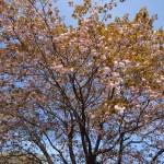 Cerasus leveilleana 'Beni-tamanishiki'/ Cherry var. Benitanishiki/ ベニタマニシキ