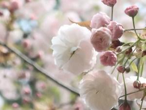 Cerasus serrulata 'Albo-rosea'/ Cherry var. Fugenzou/ フゲンゾウ