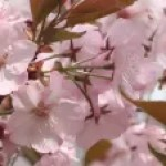 Cerasus serrulata 'Chousiuhizakura'/ Cherry var. Chousiuhizakura/ チョウシュウヒザクラ