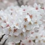 Cherry var. Someiyoshino