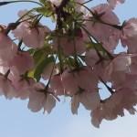 Cerasus serrulata 'Shujaku'/ Cherry var. Syujyaku/ シュジャク