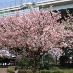 Cerasus serrulata 'Shujaku'/ Cherry var. Syujyaku/ シュジャクCerasus serrulata 'Shujaku'/ Cherry var. Syujyaku/ シュジャク
