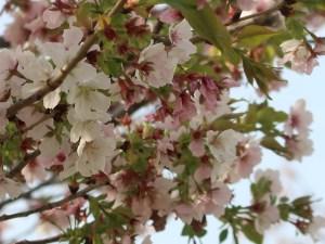 Cerasus serrulata 'Nigrescens'/ Cherry var. Usuzumi/ ウスズミ