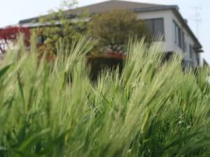 Hordeum vulgare/ Barley/ オオムギ