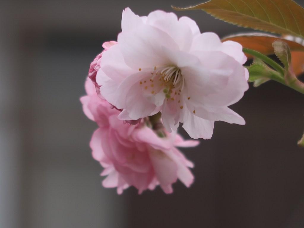Cerasus serrulata 'Imose'/ Cherry var. Imose/ イモセ 妹背
