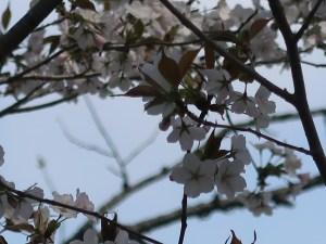 Cerasus serrulata 'Similis'/ Cherry var. Taguiarashi/ タグイアラシ 類嵐