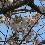 Cerasus serrulata 'Shibayama'/ Cherry var. Shibayama/ シバヤマ 三島の薄墨