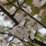 Cerasus × yedoensis 'Mikado-yoshino'/ Cherry var. Mikado yoshino/ ミカドヨシノ