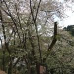 × yedoensis 'Naniwa-zakura'/ ナニワザクラ