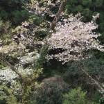 Cerasus serrulata cv. Hisakura/ Cherry var. Ichiyou/ イチヨウ 法輪寺