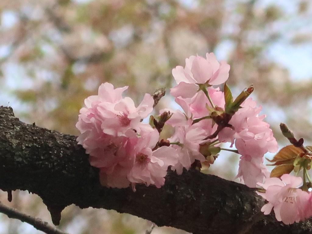 Cerasus sargentii 'Oshusatozakura'/ Cherry var. Oshusatozakura/ オウシュウサトザクラ
