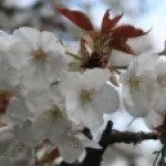 Cerasus serrulata 'Omuro-ariake'/ Pchery var. Omuro-Ariake/ オムロアリアケ