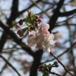 Cerasus serrulata 'Matsumae-sarasa'/ Cherry var. Matsumae-sarasa/ マツマエサラサ