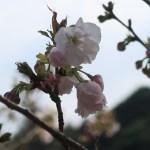 Cerasus serrulata 'Shionobori'/ Cherry var. 'Shionobori'/ シオノボリ 八柱の汐登