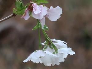 Cerasus serrulata 'Shibayama'/ Cherry var. Shibayama/ シバヤマ