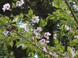 Cerasus serrulata 'Shibayama'/ Cherry var. Shibayama/ シバヤマ 神代の芝山