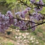 Cerasus serrulata 'Ohsawazakura'/ Cherry var. Ohsawazakura/ オオサワザクラ