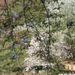 Cerasus serrulata 'Sendai‐shidare'/ cherry var. Sendai shidare/ センダイシダレ