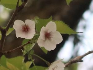 Cerasus x parvifolia'Umineko'/ Cherry var. Umineko/ ウミネコ 海猫
