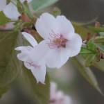 Cerasus x parvifolia'Umineko'/ Cherry var. Umineko/ ウミネコ