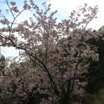 Cerasus serrulata 'Mikurumakaisi'/ Cherry var. Mikurumagaeshi/ ミクルマガエシ 京都の御車返(手鞠)