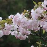 Cerasus serrulata 'Mikurumakaisi'/ Cherry var. Mikurumagaeshi/ ミクルマガエシ 佐野の桐ケ谷