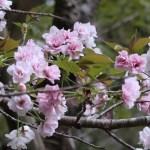 Cerasus leveilleana 'Sasabe-zakura'/ Cherry var.Sasabe zakura/ ササベザクラ