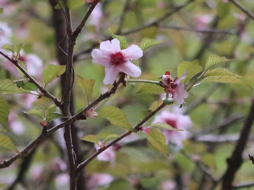 Cerasus x furuseana/ Cherry var. Yamamamezakura/ ヤママメザクラ/