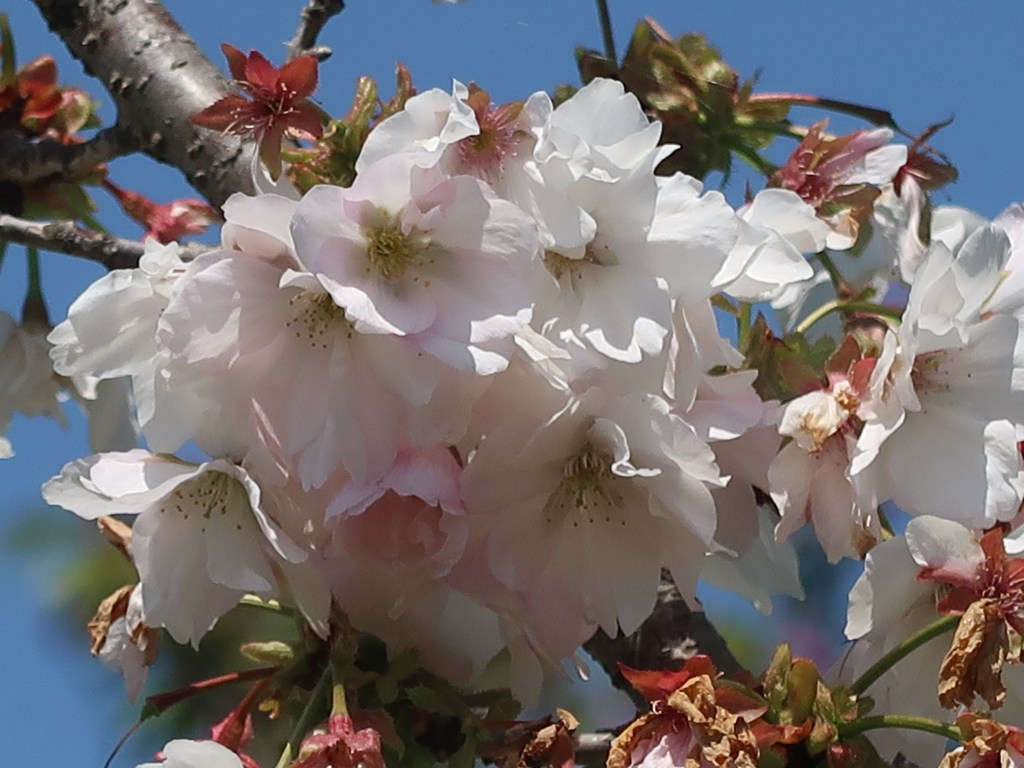 Cerasus serrulata 'Spiralis'/ Cherry var. Uzuzakura/ ウズザクラ