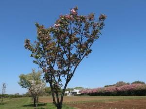 Cerasus serrulata'Chrysanthemoides'/ Cherry var. Kikuzakura/ キクザクラ