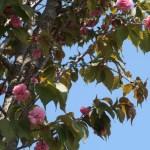 Cerasus sargentii 'Kushiroyae'/ Cherry var. Kushiroyae/ クシロヤエ