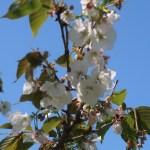 Cerasus serrulata 'Ojochin'/ Cherry var. 'Ojochin'/ オオジョウチン