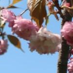 Cerasus serrulata 'Imose'/ Cherry var. Imose/ イモセ 平野神社 妹背