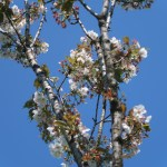 Cerasus serrulata 'Senriko'/ Cherry var. Senrikou/ センリコウ