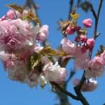 Cerasus serrulata 'Nobilis'/ Cherry ver. Edo/ エド