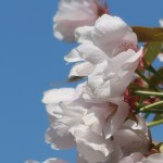 Cerasus serrulata 'Omuro-ariake'/ Cherry var. Omuro-Ariake/ オムロアリアケ