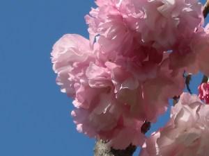 Cerasus serrulata 'Temari'/ Cherry var. Temari/ テマリ