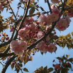 Cerasus serrulata 'Kirin'/ Cherry var. Kirin/ キリン