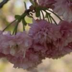 Cerasus serrulata 'Imose'/ Cherry var. Imose/ イモセ