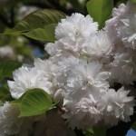 Cerasus serrulata 'Albo Plena'/ Cherry var. Ichihara toranoo/ イチハラトラノオ