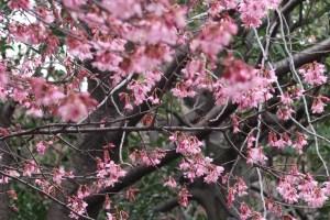 Prunus × incam 'Okame'/ Cherry var. Okame/ オカメザクラ