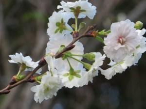 Cerasus 'kobuku-zakura'/ Cherry var. Kobuku zakura / コブクザクラ