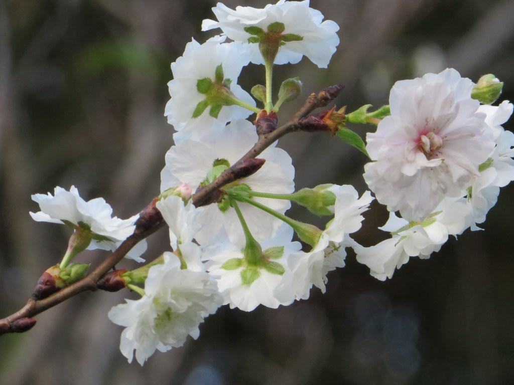 KobukCerasus 'kobuku-zakura'/ Cherry var. Kobuku zakura / コブクザクラ